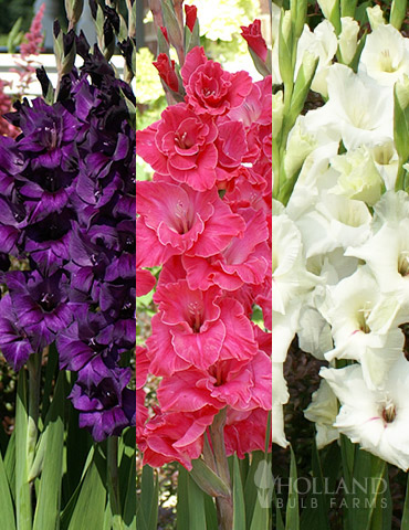 Floral Punch Gladiolus Collection