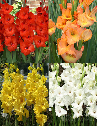 Sunset Gladiolus Collection