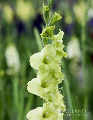 Toela Parrot Gladiolus