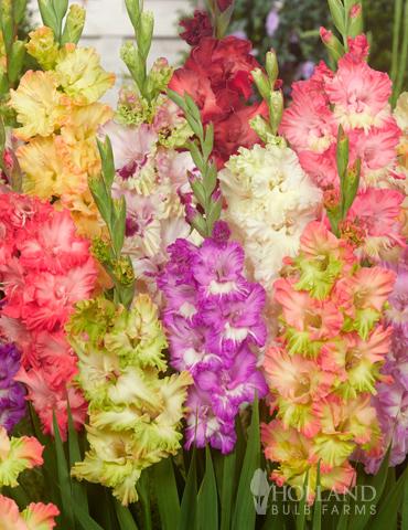Parrot Gladiolus Mixture