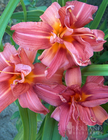 Double Passion Daylily - 77102