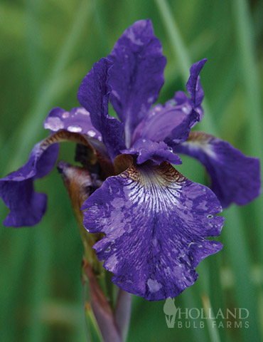 Caesar's Brother Blue Siberian Iris