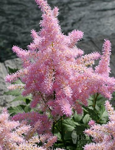 Sprite Pink Astilbe - 77252