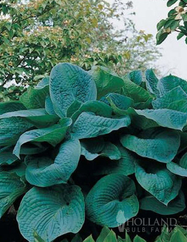 Big Daddy Hosta - 77275