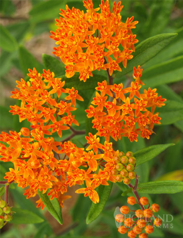 Butterfly Weed Value Pack - 77555