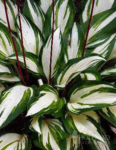 Cherry Berry Hosta