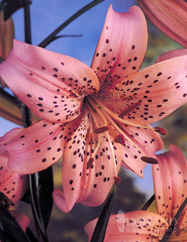 Pink Flavour Tiger Lily Holland Bulb Farms 77312