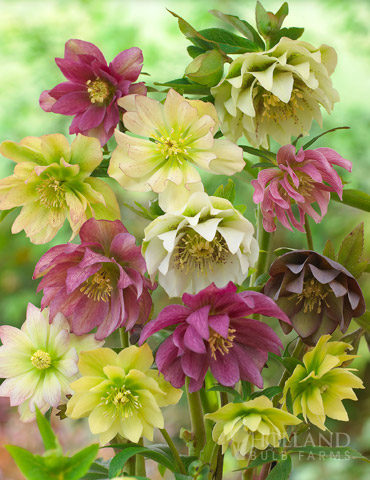 Double Queen Hellebores - 77356