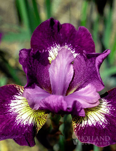 Jewelled Crown Siberian Iris