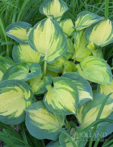 Beach Boy Hosta - 77415