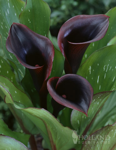 Black Star Calla Lily - 77420