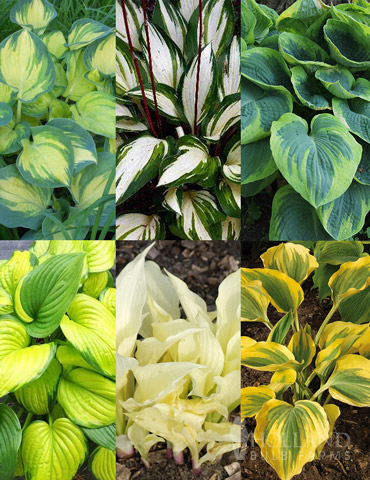 Hosta Collectors Garden Collection