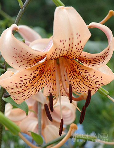 Tiger Babies Hybrid Lily Holland Bulb Farms 77449