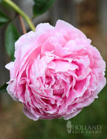 Sarah Bernhardt Peony - 77477