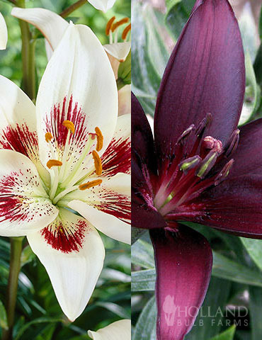 Night & Day Asiatic Lily Collection