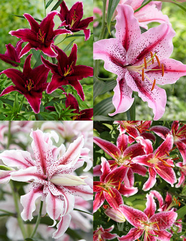 Shades of Pink Oriental Lily Collection