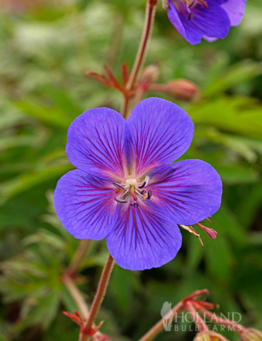 Kaya Cranesbill (Hardy Geranium)