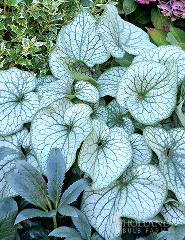 Alexanders Great Brunnera