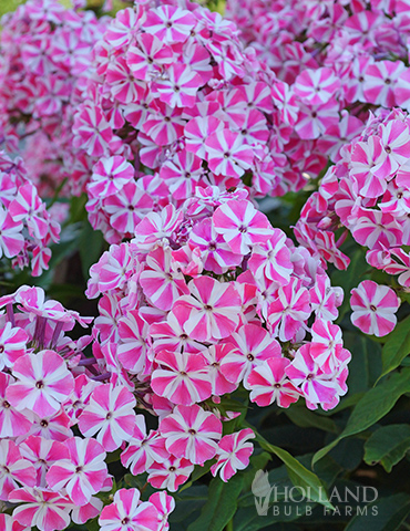 336dbd47f6fd Peppermint Twist Tall Phlox | Holland Bulb Farms | 77522