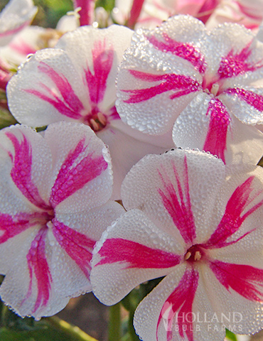 Twister Tall Phlox