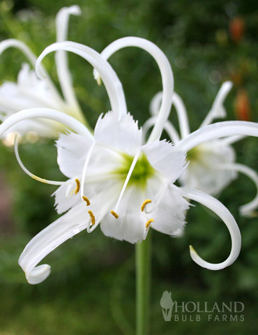 Peruvian Daffodil or Spider Flower