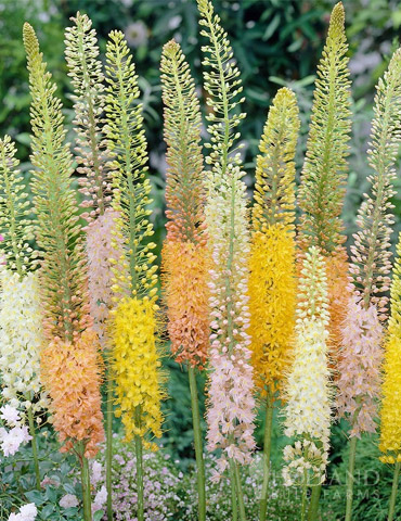 Ruiter's Hybrids Foxtail Lily - 78166