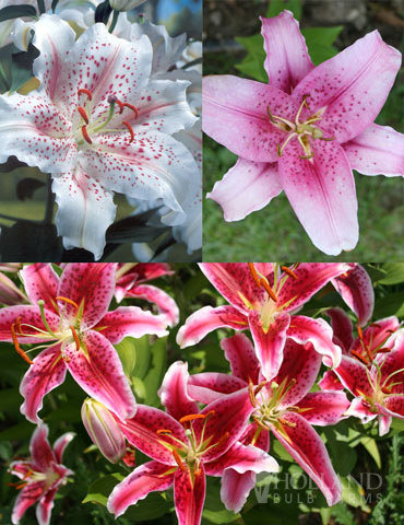 Classic Fragrant Lily Collection