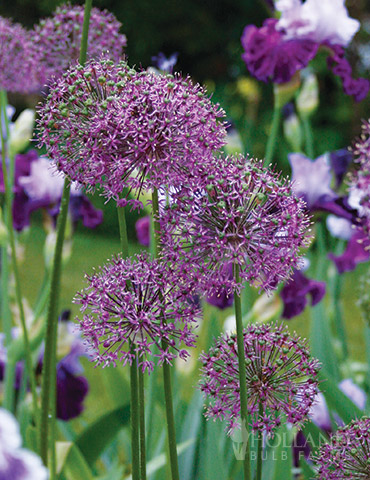 Flowering Onion or Allium Aflatunense - 81115