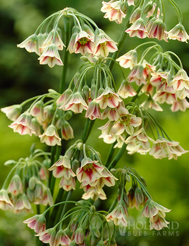 Mediterranean Bells Allium