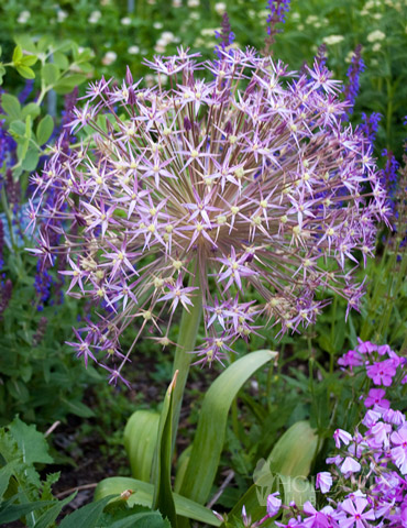 Star of Persia Allium - 81117