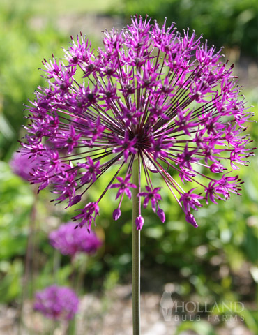 Purple Sensation Allium allium aflatunense purple sensation, purple sensation allium, allium bulbs for sale, flowers shaped like balls, persian onion, what to plant with purple sensation allium