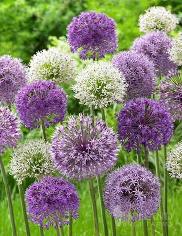 Bubble Blend Allium Mix