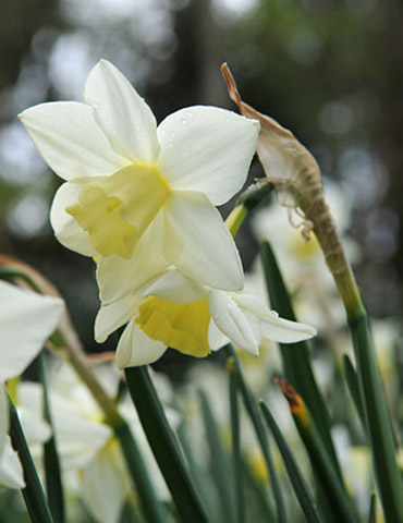 Sailboat Miniature Daffodil - 82005