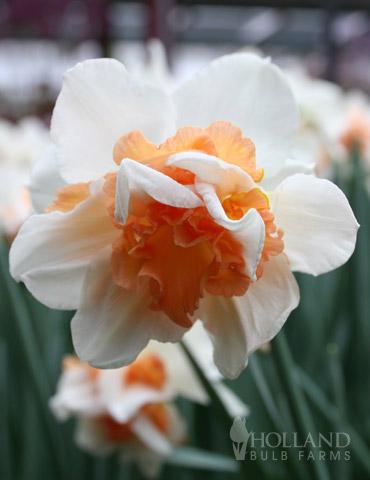 Replete Pink Daffodil