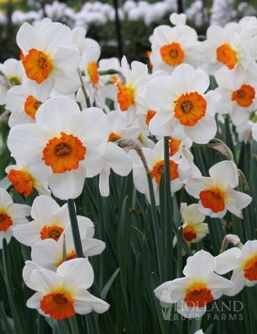 Geranium Tazetta Daffodil