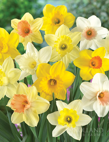 Mixed Daffodils Naturalizing