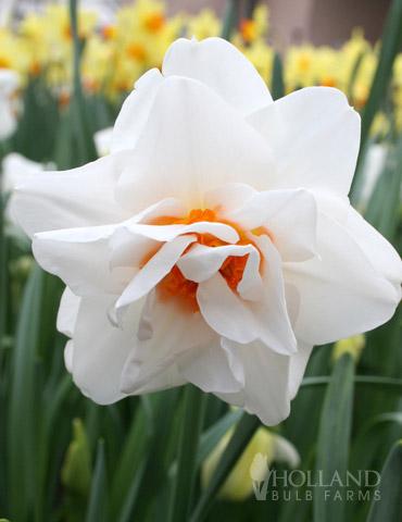Gay Tabor Daffodil