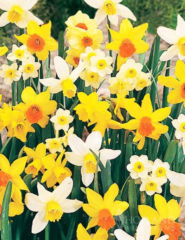 Miniature Daffodil Mix