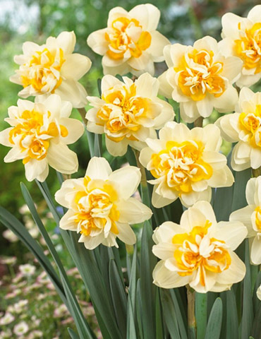 Peach Cobbler Double Daffodil