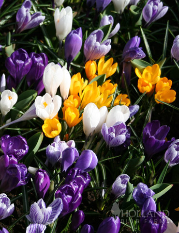 Large Mixed Crocus Value Bag (12 bulbs)