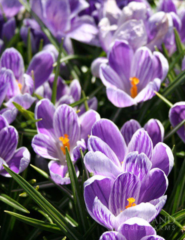 King of the Striped Giant Crocus