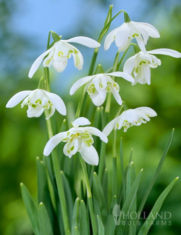 Snowdrops Galanthus Holland Bulb Farms 83122