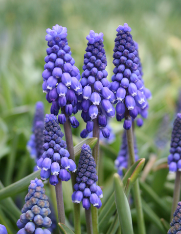 Blue Grape Hyacinth or Muscari - 83144