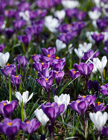 Purple & White Crocus Mix