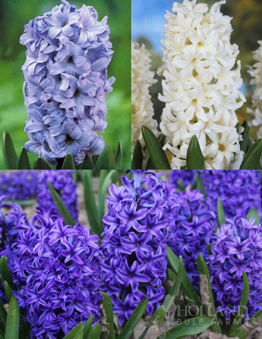 Dutch Blue and White Hyacinth Collection - 84126