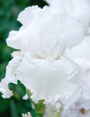 Immortality Reblooming Bearded Iris