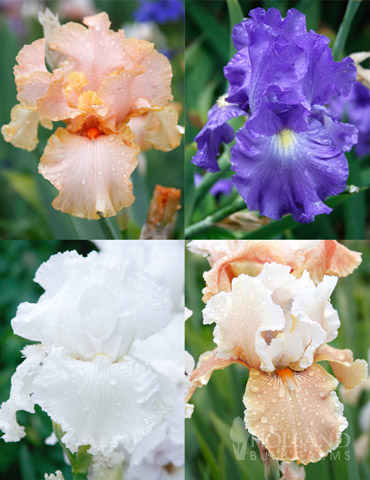 Reblooming German Iris Collection