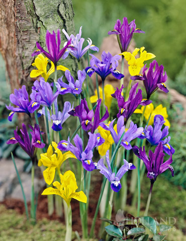 Early Royal  Dwarf Iris Mixture