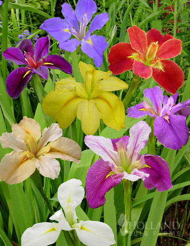 Louisiana Iris Deluxe Mix