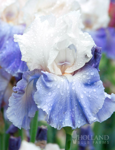 Stairway to Heaven Bearded Iris